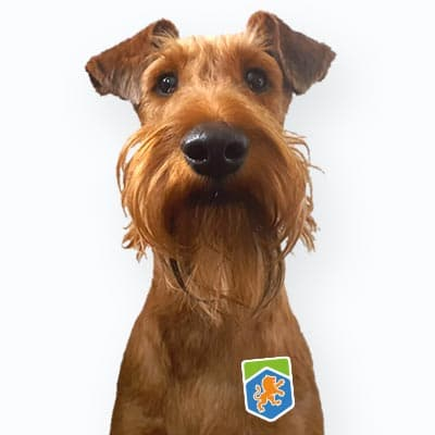 Freddie - Irish Terrier